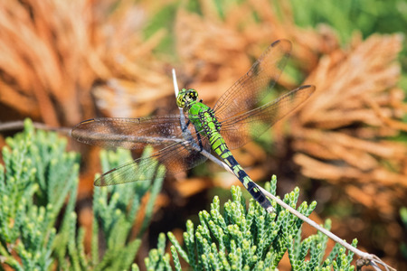 Eastern Pondhawk dragonfly Erythemis simplicicollis resting on a twig in Maryland during the Summer