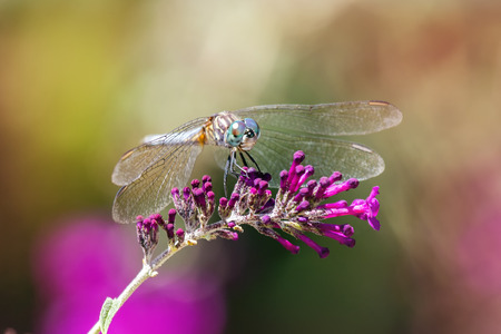 odonatology: Blue Dasher dragonfly Pachydiplax longipennis resting on purple flowers during the Summer