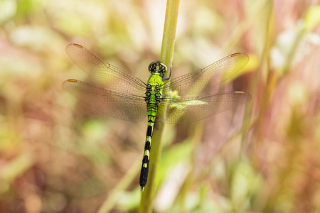 odonatology: Eastern Pondhawk dragonfly Erythemis simplicicollis resting in grassland in Maryland during the Summer Stock Photo