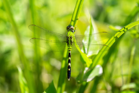 erythemis: Eastern Pondhawk dragonfly Erythemis simplicicollis resting in grassland in Maryland during the Summer Stock Photo