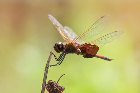pruinose: Carolina Saddlebags dragonfly Tramea carolina perching on a wildflower stem during the Summer