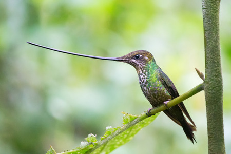Sword-billed Hummingbird Ensifera ensifera in Guango, Ecuador, South America