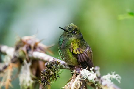 coronet: Buff-tailed Coronet Boissonneaua flavescens hummingbird in Ecuador, South America Stock Photo