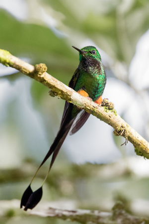 Booted Racket-tail Ocreatus underwoodii hummingbird in Ecuador, South America