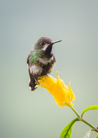 Green Thorntail Discosura conversii hummingbird in Ecuador, South America Stock Photo