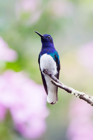 White-necked Jacobin Florisuga mellivora hummingbird in Ecuador, South America Stock Photo