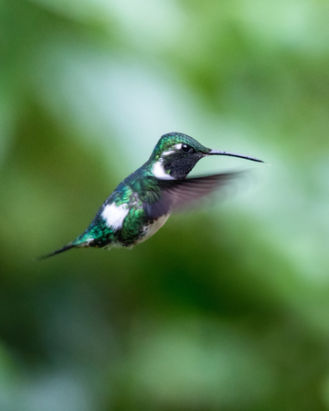 White-bellied Woodstar Chaetocercus mulsant hummingbird in Ecuador, South America
