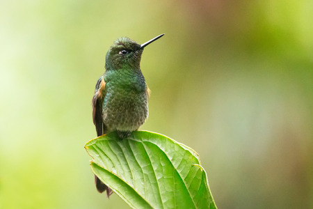 flavescens: Buff-tailed Coronet Boissonneaua flavescens hummingbird in Ecuador, South America Stock Photo