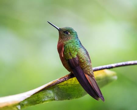 coronet: Chestnut-breasted Coronet Boissonneaua matthewsii hummingbird in Ecuador, South America