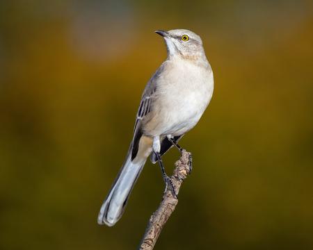 ruiseñor: Mockingbird del Norte Mimus polyglottos se encarama en una ramita en Maryland durante el otoño