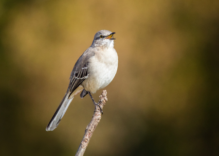 Northern Mockingbird Mimus polyglottos perching and singing on a twig in Maryland during the Fall