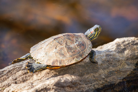 urban wildlife: Red-eared Slider pond turtle Trachemys scripta elegans basking on a rock in Maryland during the Fall