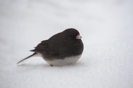 winter urban wildlife: Dark-eyed Junco bird Junco hyemalis standing in the snow in Maryland during the Winter Stock Photo