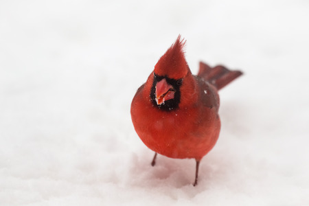 snow cardinal: Northern Cardinal Cardinalis cardinalis standing in the snow in Maryland during the Winter
