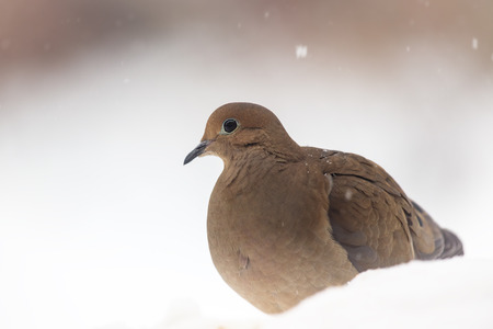 turtle dove: Mourning Dove Zenaida macroura sitting in the snow during a snowstorm in Maryland