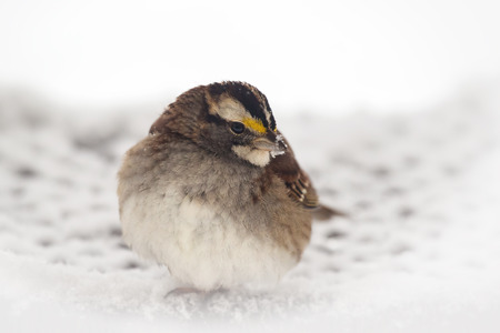 winter urban wildlife: White-throated Sparrow Zonotrichia albicollis standing in the snow in Maryland during the Winter
