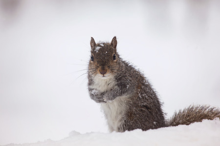 sciurus: Eastern Gray Squirrel Sciurus carolinensis sitting in the snow in Maryland during the Winter Stock Photo