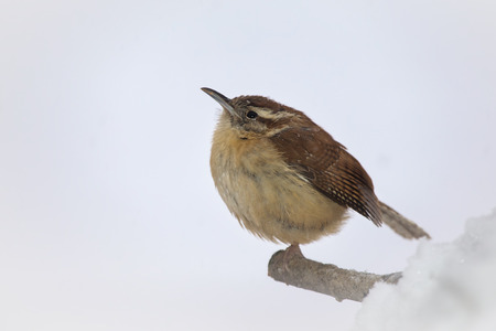 winter urban wildlife: Carolina Wren Thryothorus ludovicianus perching on a branch in Maryland during a snowstorm