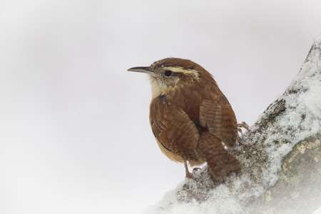 thryothorus: Carolina Wren Thryothorus ludovicianus perching on a branch in Maryland during a snowstorm