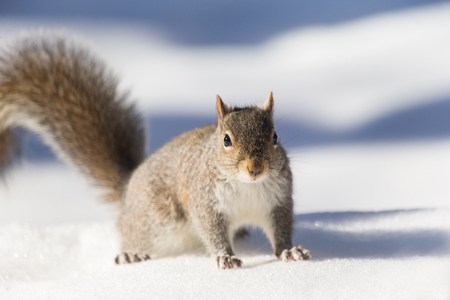 carolinensis: Eastern Gray Squirrel Sciurus carolinensis sitting in the snow in Maryland during the Winter Stock Photo