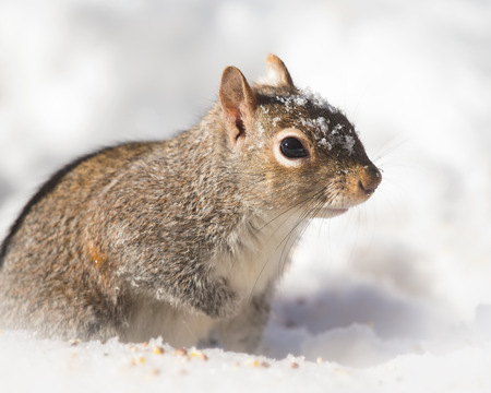 winter urban wildlife: Eastern Gray Squirrel Sciurus carolinensis sitting in the snow in Maryland during the Winter Stock Photo
