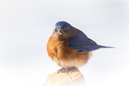 eastern bluebird: Eastern Bluebird Sialia sialis feeding on suet in Maryland during the Winter