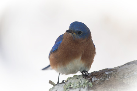 bluebird: Eastern Bluebird Sialia sialis perching on a tree stump in Maryland during the Winter Stock Photo