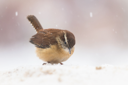 winter urban wildlife: Carolina Wren Thryothorus ludovicianus standing in the snow in Maryland during the Winter