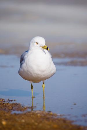 winter urban wildlife: Ring-billed Gull Larus delawarensis standing in water near the Chesapeake Bay during the Winter