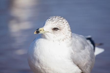 winter urban wildlife: Ring-billed Gull Larus delawarensis closeup taken near the Chesapeake Bay during the Winter