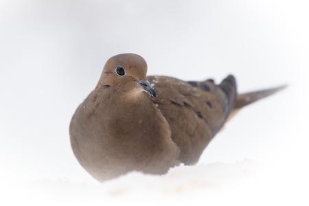 winter urban wildlife: Mourning Dove Zenaida macroura sitting in the snow during a snowstorm in Maryland