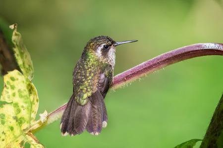 speckled: Speckled Hummingbird Adelomyia melanogenys in Ecuador, South America Stock Photo
