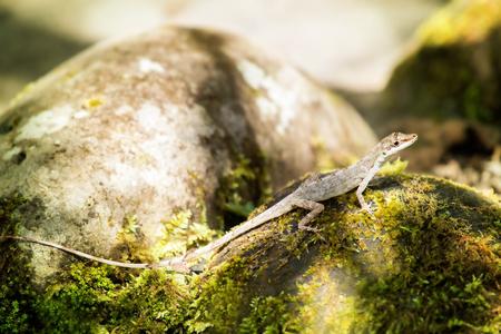 eared: Slender Amazon Anole Anolis fuscoauratus in Ecuador, South America Stock Photo