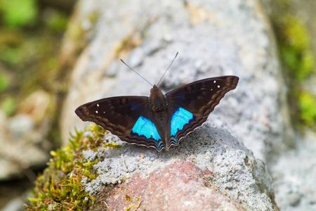 emperor: Cyan Emperor Doxocopa cyane butterfly in Ecuador, South America