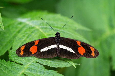 longwing: Telesiphe longwing Heliconius telesiphe butterfly in Ecuador, South America Stock Photo