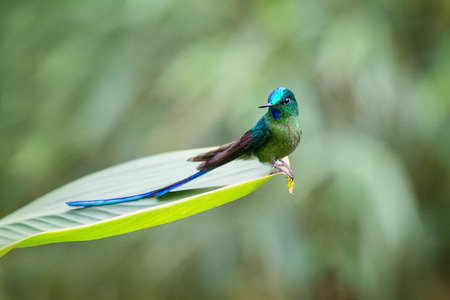 Long-tailed Sylph Aglaiocercus kingii hummingbird in Ecuador, South America