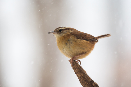 winter urban wildlife: Carolina Wren Thryothorus ludovicianus perching on a branch in Maryland during a blizzard Stock Photo