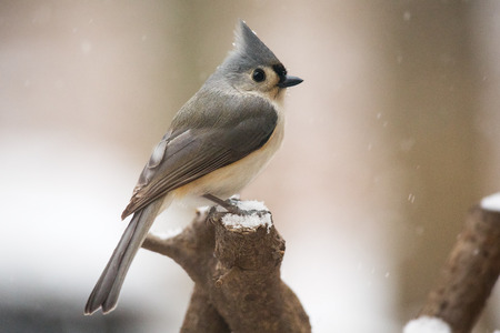 winter urban wildlife: Tufted Titmouse Baeolophus bicolor perching on a log during a snowstorm in the the Winter