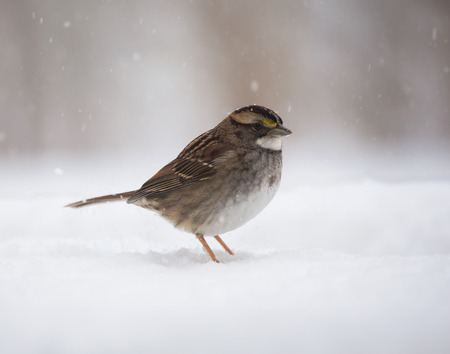 winter urban wildlife: White-throated Sparrow Zonotrichia albicollis standing in the snow in Maryland during a blizzard