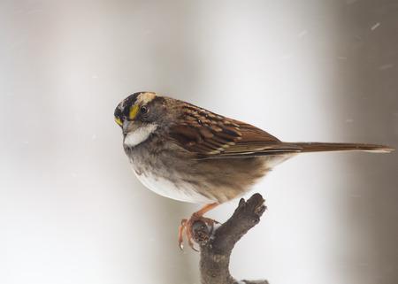 winter urban wildlife: White-throated Sparrow Zonotrichia albicollis perching on a branch during a blizzard Stock Photo