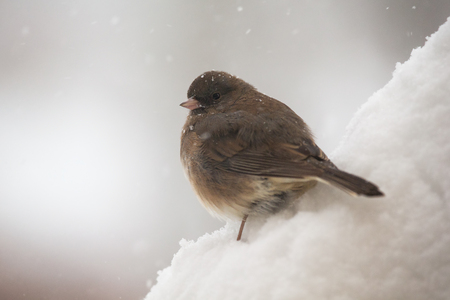 grey eyed: Dark-eyed Junco bird Junco hyemalis standing in the snow in Maryland during a blizzard