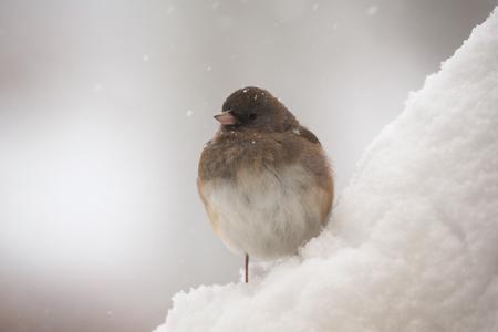 winter urban wildlife: Dark-eyed Junco bird Junco hyemalis standing in the snow in Maryland during a blizzard