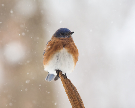 eastern bluebird: Eastern Bluebird Sialia sialis perching on a tree stump in Maryland during the Winter Stock Photo