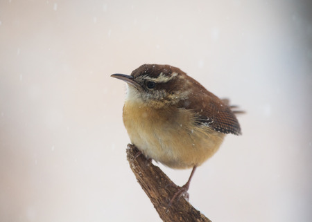 thryothorus: Carolina Wren Thryothorus ludovicianus perching on a branch in Maryland during a blizzard Stock Photo