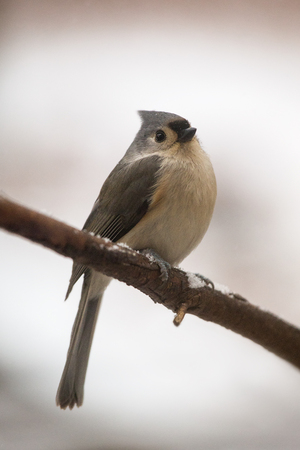 winter urban wildlife: Tufted Titmouse Baeolophus bicolor perching on a twig during a snowstorm in the the Winter