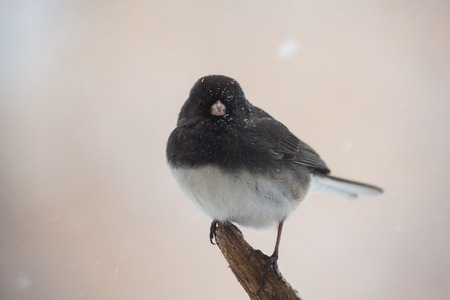 winter urban wildlife: Dark-eyed Junco bird Junco hyemalis perching on a twig during a snowstorm in the Winter