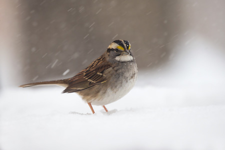 urban wildlife: White-throated Sparrow Zonotrichia albicollis standing in the snow in Maryland during a blizzard