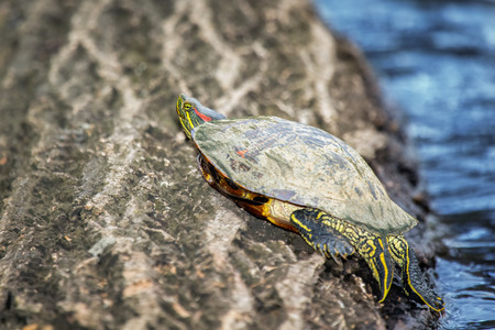 riparian: Red-eared Slider pond turtle Trachemys scripta elegans basking on a log in Maryland during the Spring