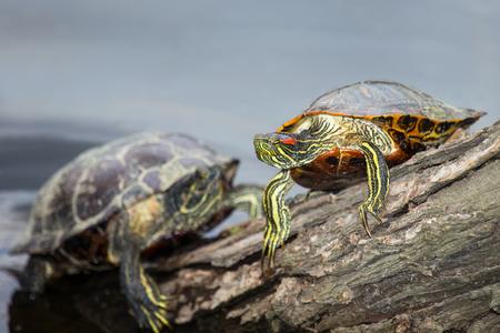basking: Red-eared Slider pond turtle Trachemys scripta elegans basking on a log in Maryland during the Spring