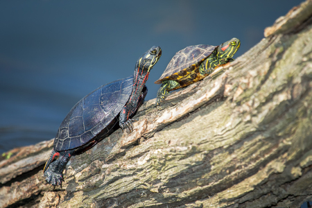 urban wildlife: Red-eared Slider Trachemys scripta elegans and Painted Turtle Chrysemys picta basking on a log during the Spring Stock Photo